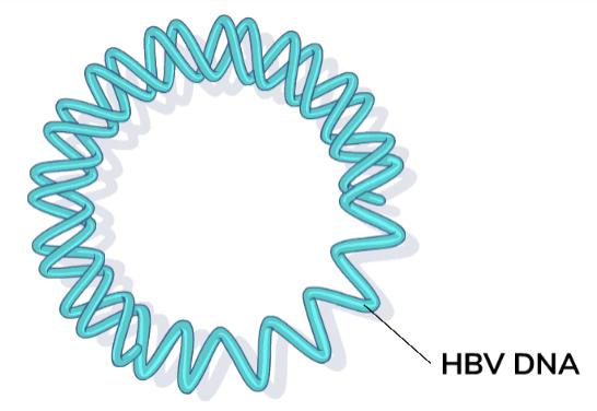 HBV DNA