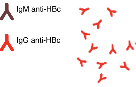 IgM Antibody to Hepatitis B Core Antigen (IgM Anti-HBc)